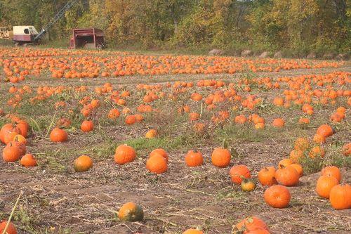 Pumpkin 6 Large Web view