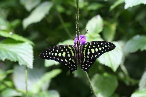 Butterfly_real_2