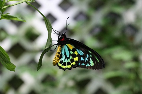 Butterfly_real_3